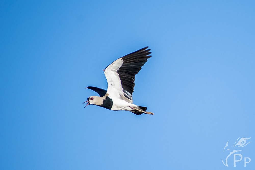 Southern Lapwing flying