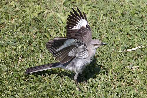 Hunting Mockingbird