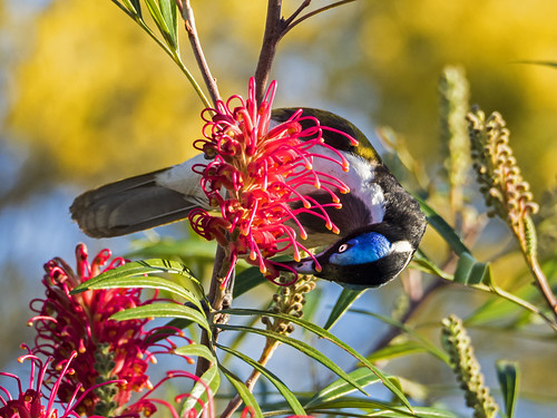 Blue faced Honeyeater (3) | by bidkev1 and son (see profile)