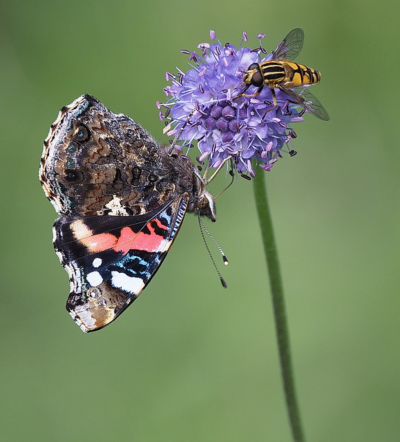 Red Admiral (Vanessa atalanta) with Hoverfly (Helophilus pendulus)