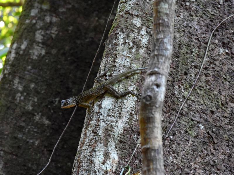 lizard salamander