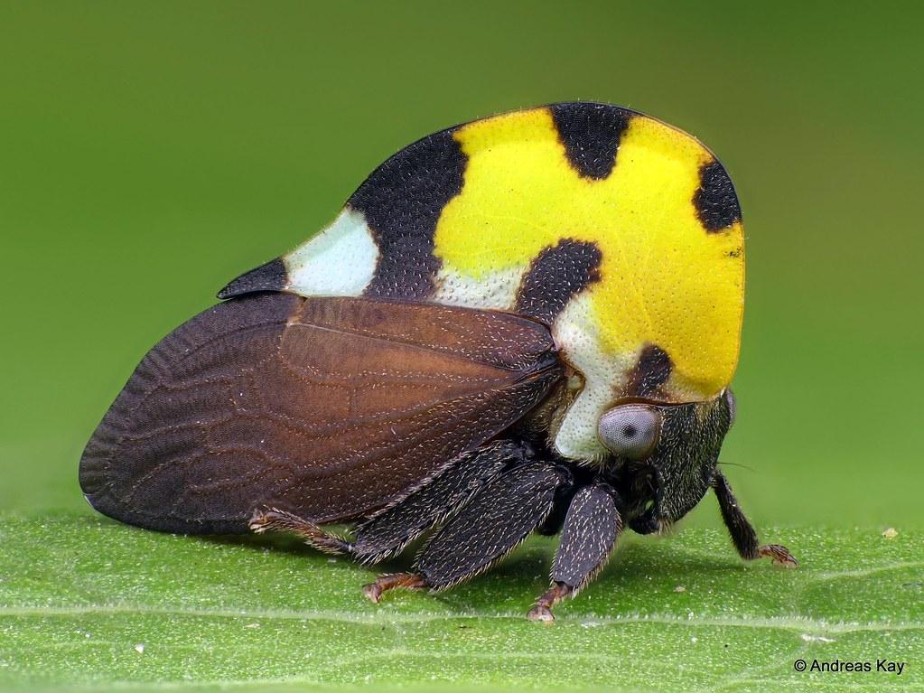 Treehopper, Membracis mexicana, Membracidae