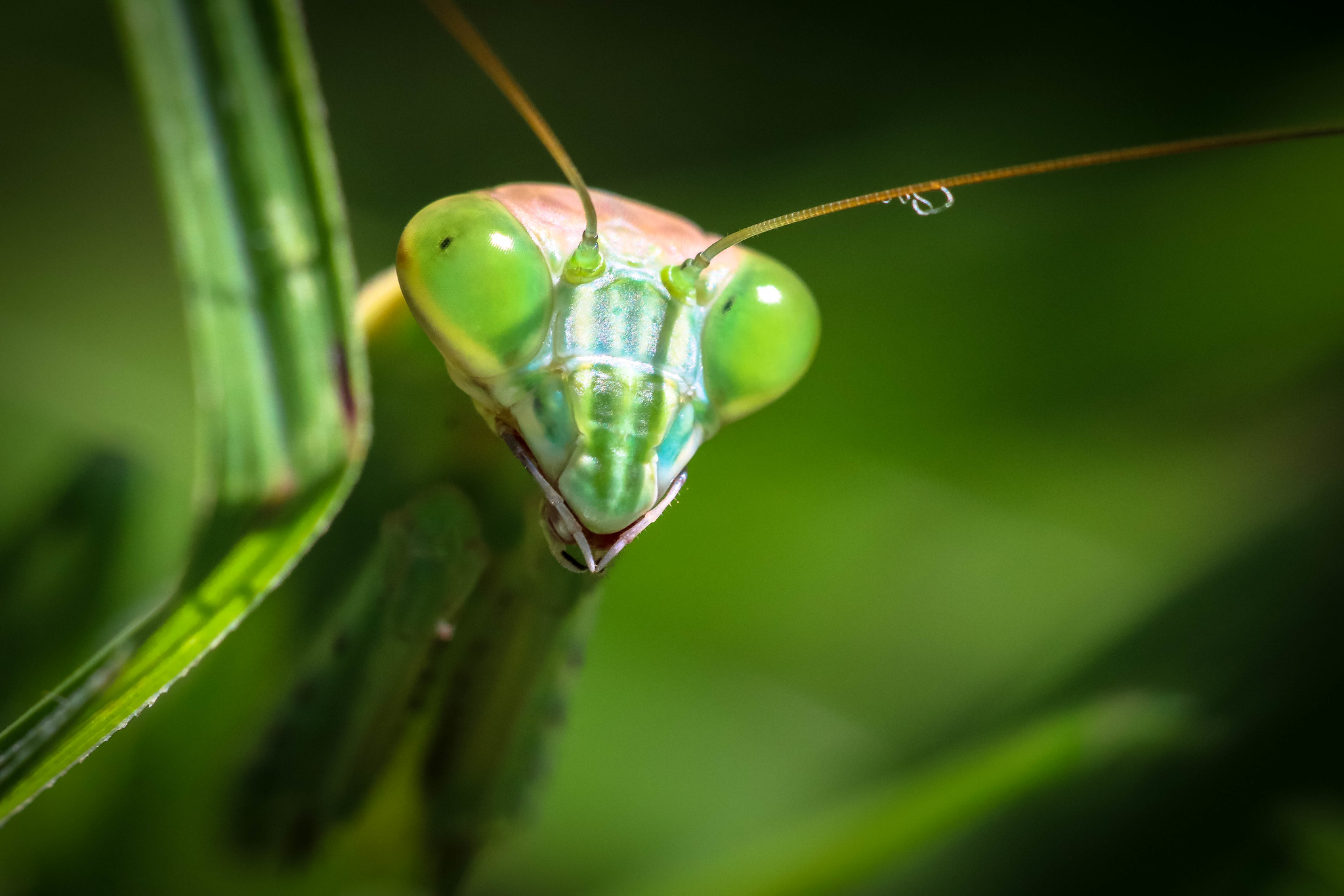 Macro Monday Brings The Magnificent Mantises