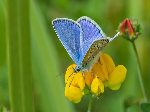 Common Blue (Adder enclosure)