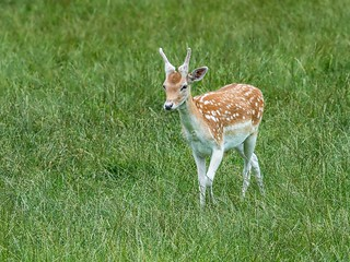 Young fallow male