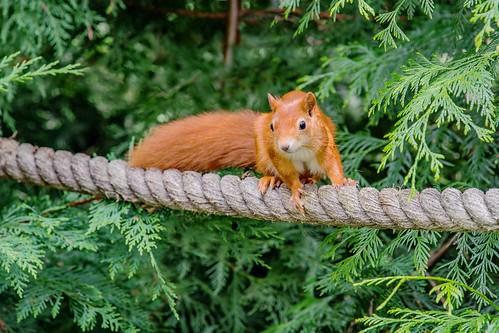Ed Sheeran (The Squirrel)
