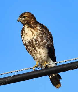 Redtail gives me the eye.