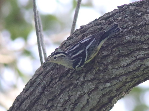 Black-and-White Warbler female 03-20190817