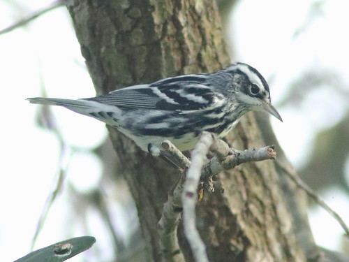 Black-and-White Warbler male 01-20190817