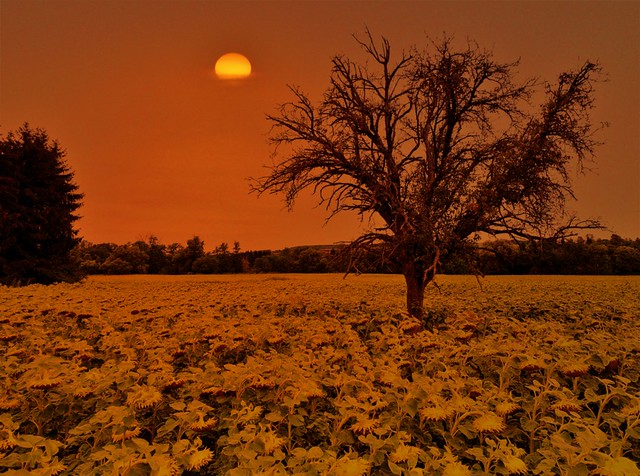 LONELY TREE WITH MANY SUNFLOWERS 20190817_124921 (2)