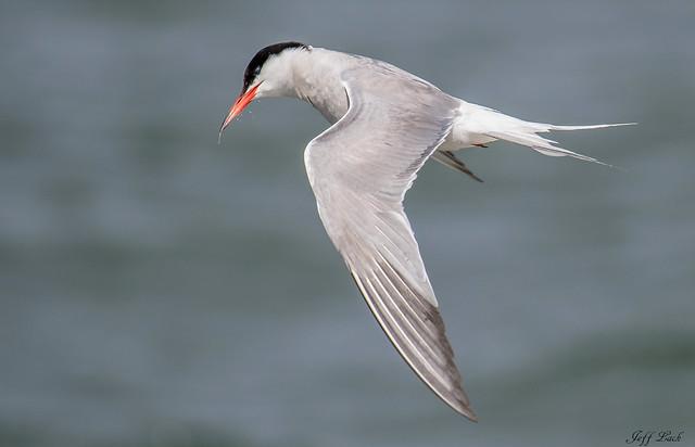 DSC2965  Common Tern....