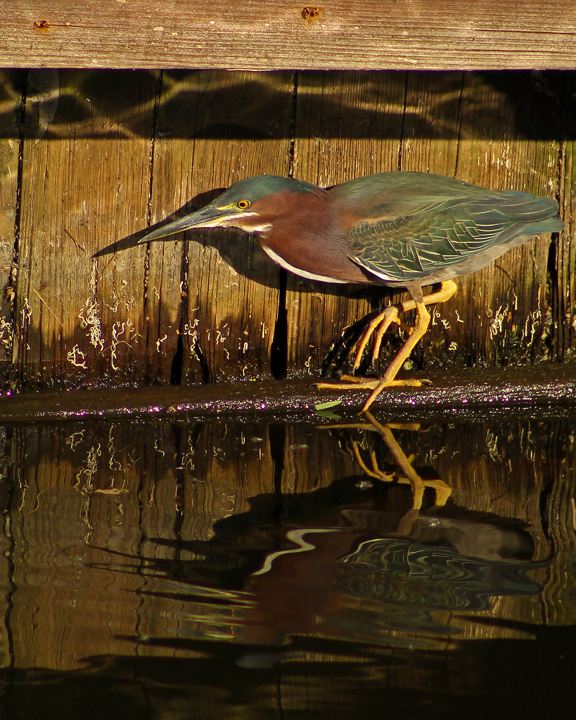 2018.03.15 Berkely Canal Manatee Observation Point Green Heron 1