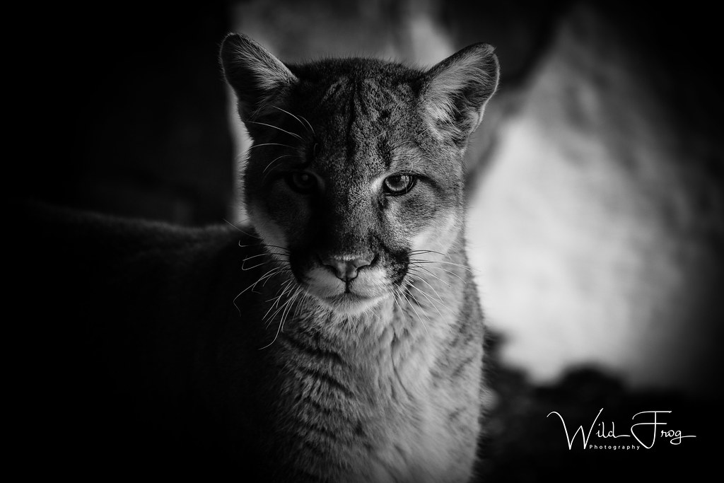 Mountain Lion In The Shadows