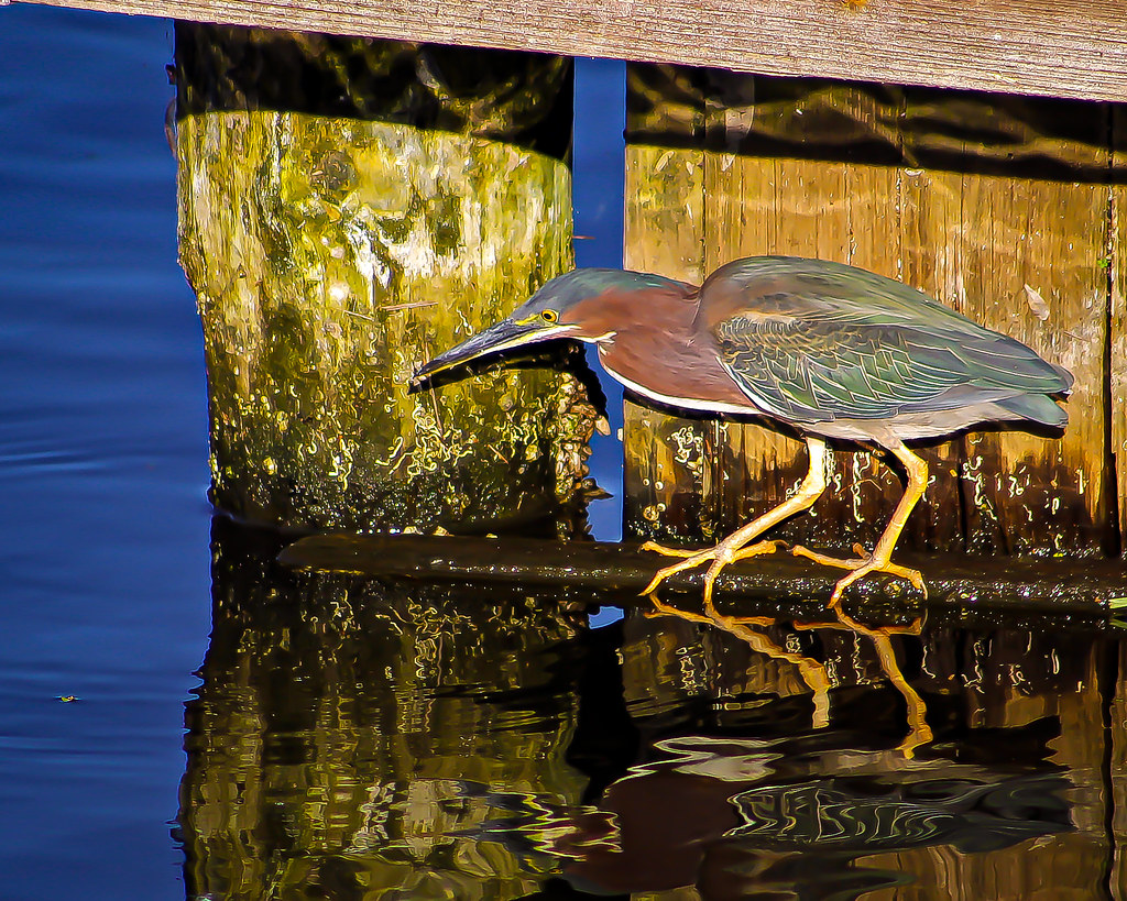 2018.03.15 Berkely Canal Manatee Observation Point Green Heron 2