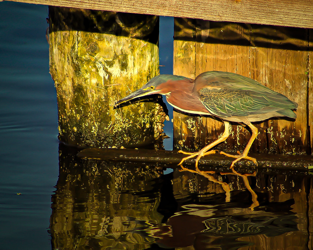 2018.03.15 Berkely Canal Manatee Observation Point Green Heron 2 alt