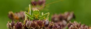 To whom it may concern: Grote groene sabelsprinkhaan