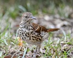 brown thrasher_