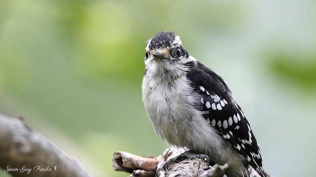 Pic mineur mâle blessé à l'oeil.. ( Male Downy Woodpecker wounded in the eye )