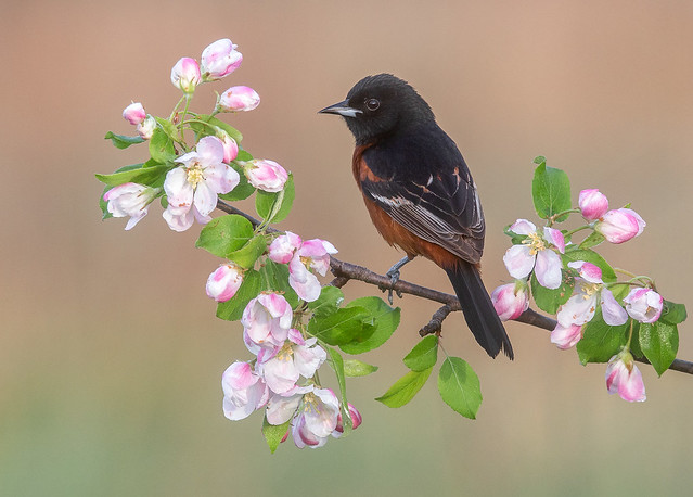 Orchard Oriole M
