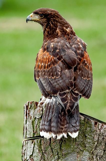 Harris Hawk..