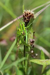 Euthystira brachyptera (Criquet des genévriers)