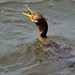 Great Cormoran_0735-1