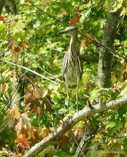 Juvenile Yellow-crowned Night-Heron_N6928