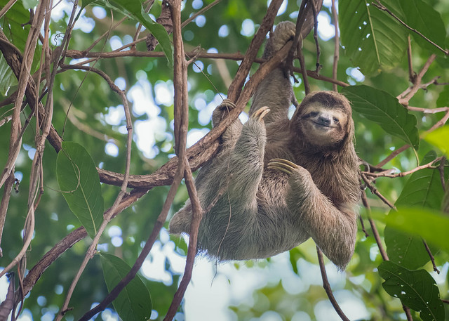 Brown-throated (three toed) Sloth