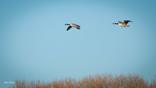 Canada Geese flyby