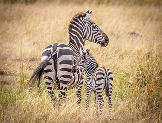 Zebra mare and her colt in the Mara