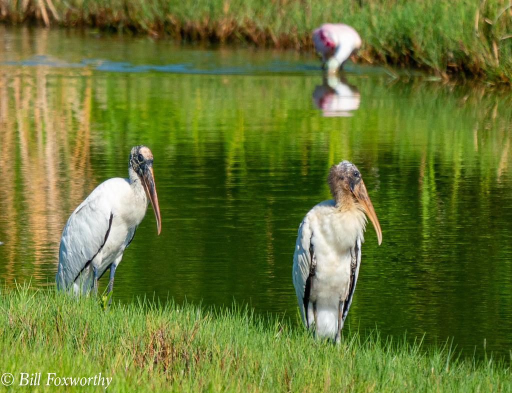 SONY-ILCE-A9, Wood Storks, 02074 ,July 28, 2019