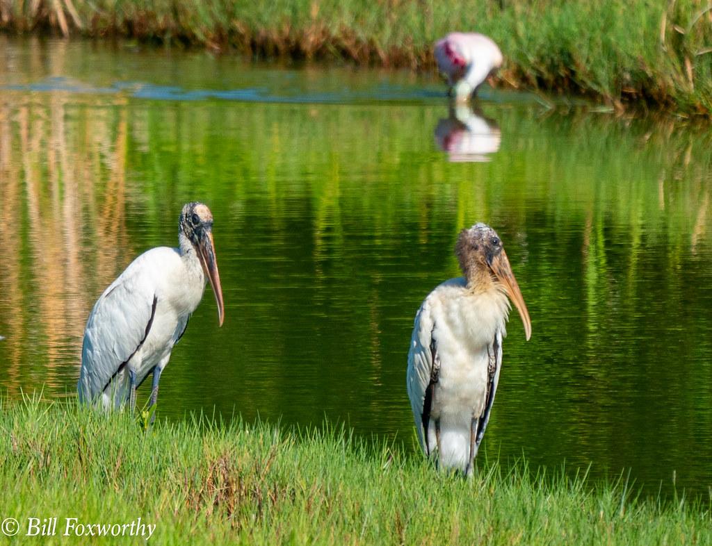 SONY-ILCE-A9, Wood Storks, 02074 ,July 28, 2019