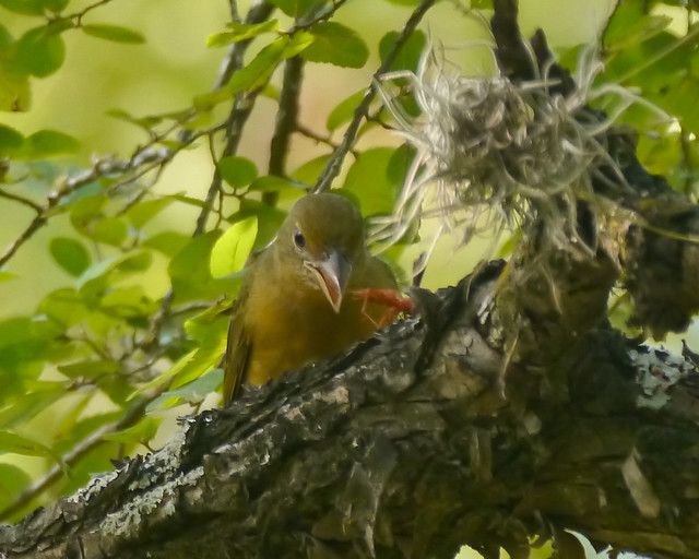 Summer Tanager eating Wasp