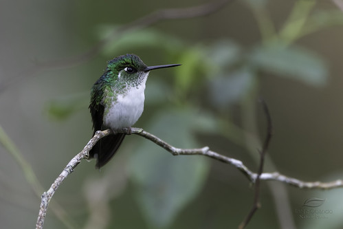 White-bellied Mountain-gem ♀