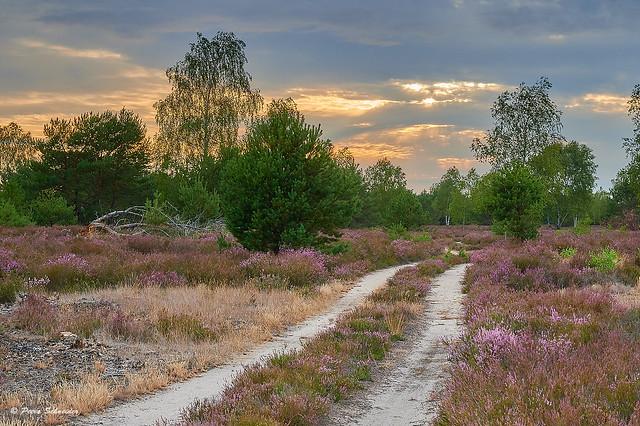 Heathland in Brandenburg