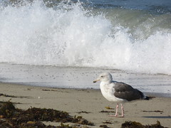 Seagull Wave