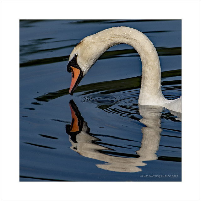Swan face off