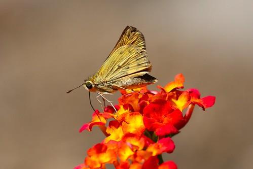 Skipper probes a lantana flower for nectar