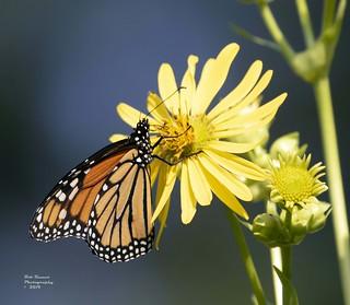 Butterfly Eastern Tiger Swallowtail 3.