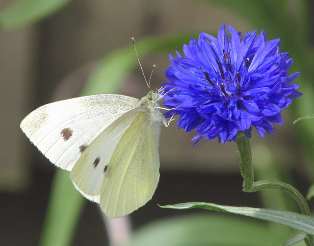 Small White Butterfly (Pieris rapae) 2019-07-26. In my Garden, Aberkenfig, South Wales