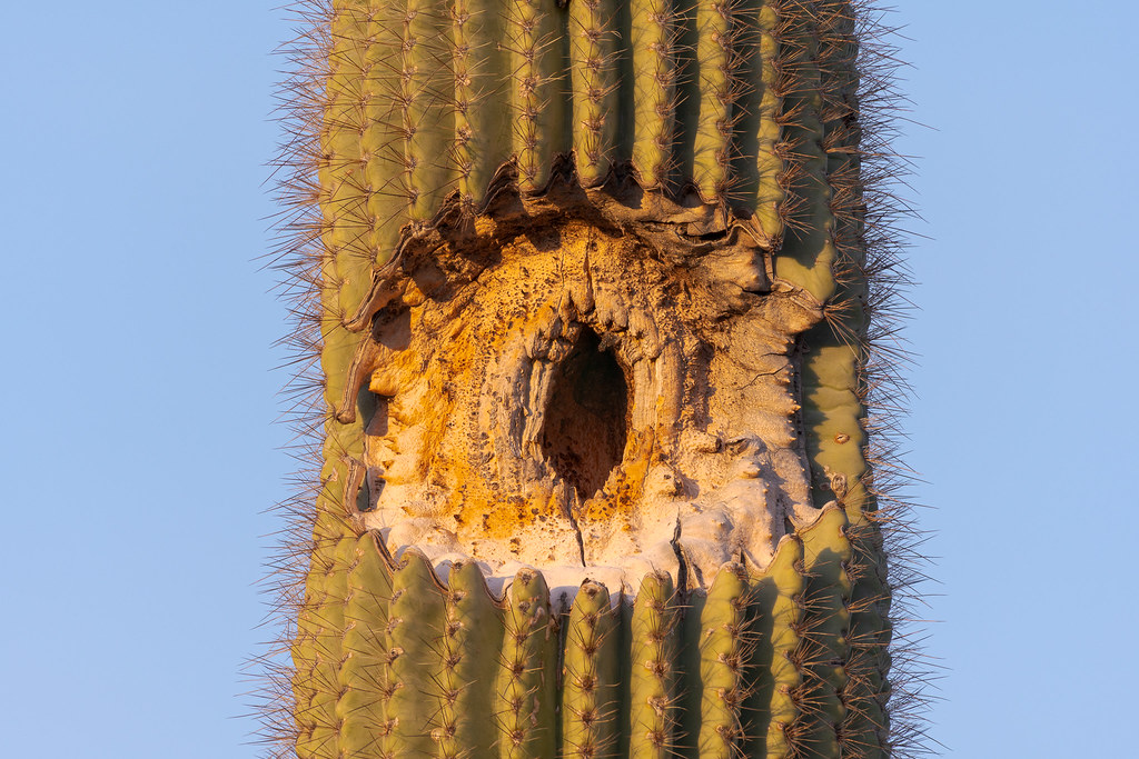 A close-up of the damage left when a saguaro arm broke away on a saguaro along the Kovach Family Nature Trail in January 2019