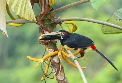 Pichí Chocoano, Stripe-billed Araçari (Pteroglossus sanguineus) (Pteroglossus torquatus) (Pteroglossus torquatus sanguineus)