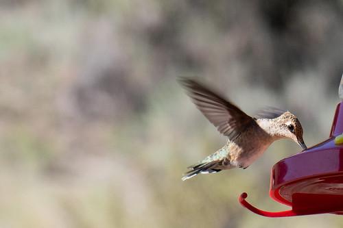 Delicate wingbeat of a Calliope Hummingbird