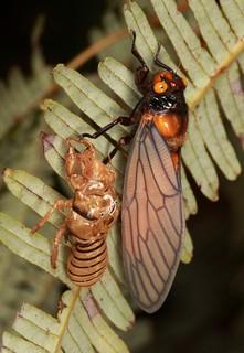 Freshly Moulted Cicada (Huechys sp., Cicadidae)