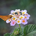 Skipper in Lantana