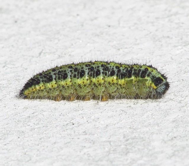 Large White Caterpillar (Larva) (Pieris brassicae). 2019-08-17. Aberkenfig, South Wales