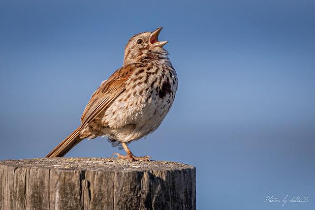 Song Sparrow, San Simeon, CA