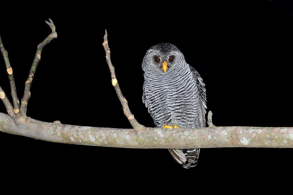 Black-banded Owl / Buho negro bandeado (Strix huhula / Ciccaba huhula)
