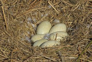 Black Swan's nest with 6 eggs