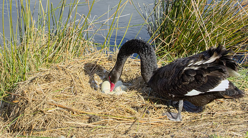 Black Swan Looking at its Eggs in its Nest